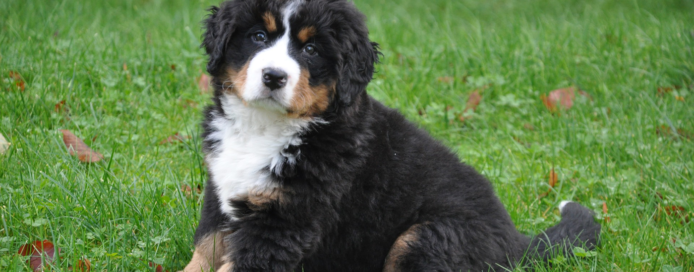 The Bernese Mountain Dog Club of Ontario